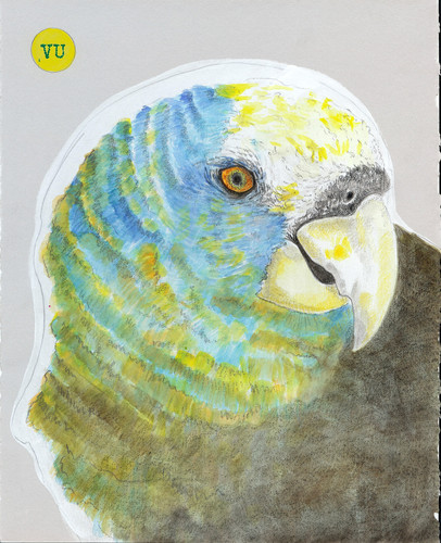 St. Vincent Amazon Parrot.jpg