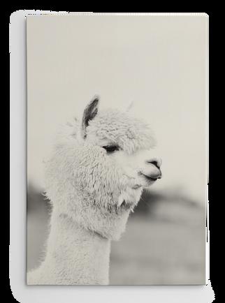 Alpaca_wall.png