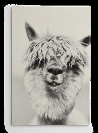 Alpaca_wall_2 Kopie.png