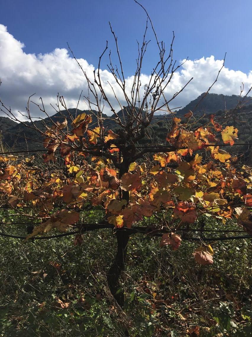 Chania Wine Tours: Winter Vineyard
