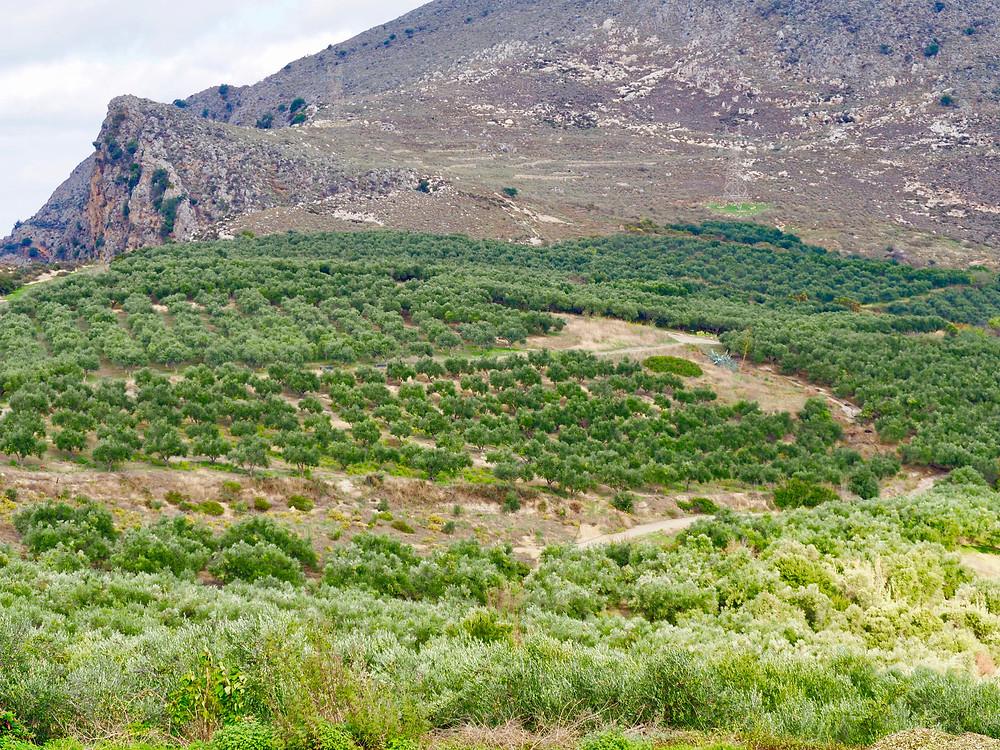 Biolea Olive Trees