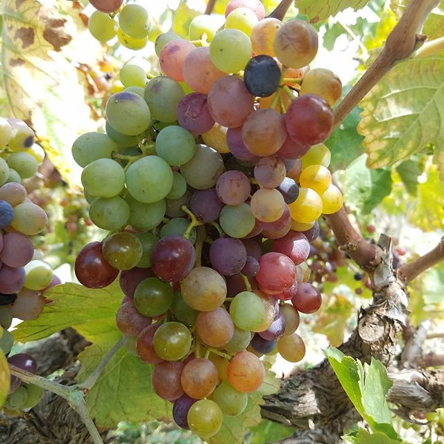 romeiko on the vine