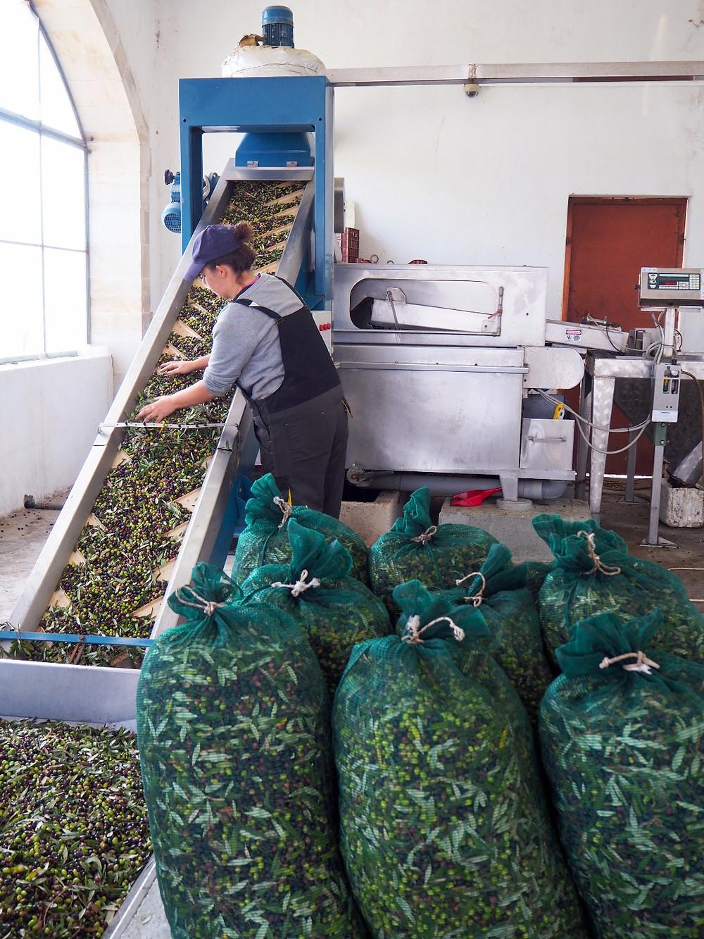 Biolea Olive Sorting