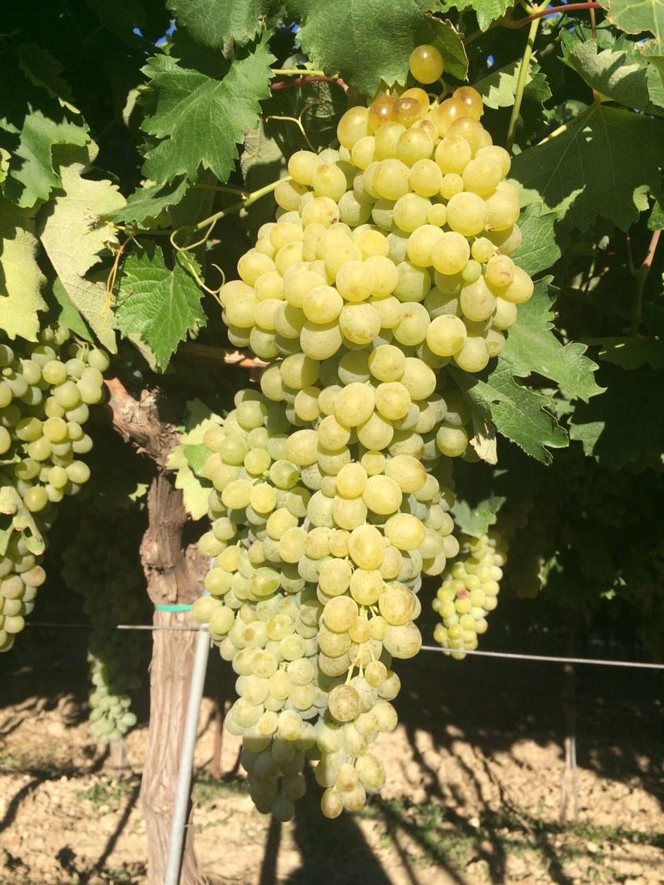 Vidiano Grapes