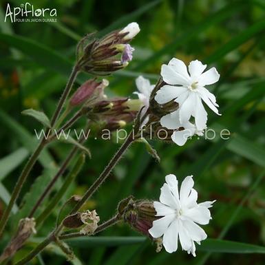 Silene latifolia - Compagnon blanc