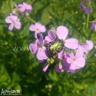Hesperis matronalis -