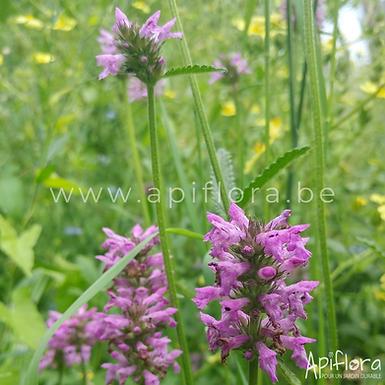 Stachys officinalis - Bétoine