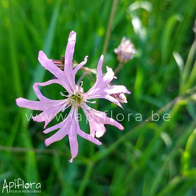 Lychnis flos-cuculi - Lychnis fleur de coucou