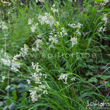 Luzula luzuloides - Luzule blanche