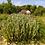 Thumbnail: Lychnis coronaria - Coquelourde des jardins