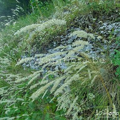 Koeleria macrantha - Koélérie grêle