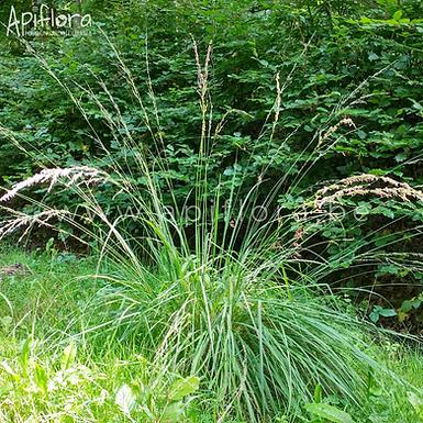 Deschampsia cespitosa - Canche cespiteuse