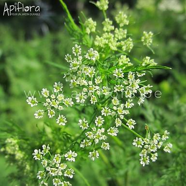 Chaerophyllum bulbosum - Cerfeuil tubéreux