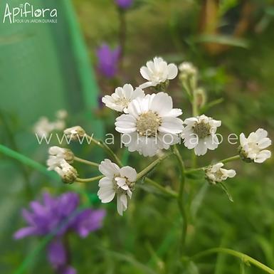 Achillea ptarmica - Achillée sternutatoire