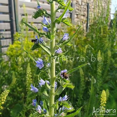 Echium vulgare - Vipérine