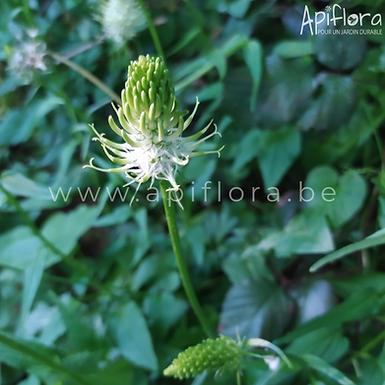 Phyteuma spicatum - Raiponce en épi