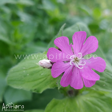 Silene dioica - Compagnon rouge