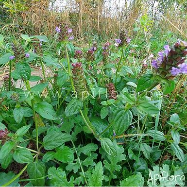 Prunella vulgaris - Brunelle