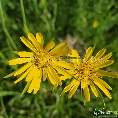 Tragopogon pratensis - Salsifis des prés
