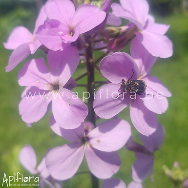 Hesperis matronalis - Julienne des dames