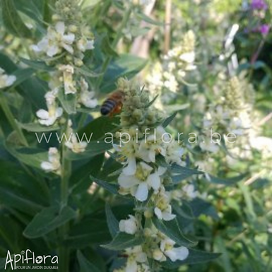 Verbascum lychnitis - Molène lychnite