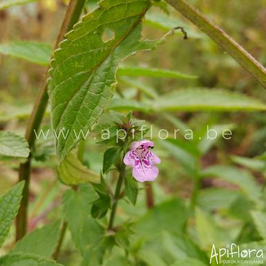 Stachys palustris - Epiaire des marais