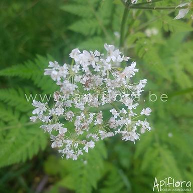 Myrrhis odorata - Cerfeuil musqué