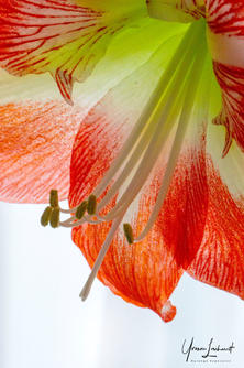 Week 14_50ft from home Amaryllis 2021.jp