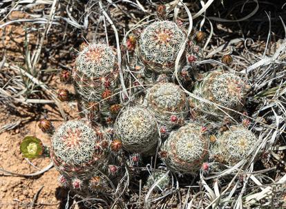 Rainbow Hedgehog cacti.jpg