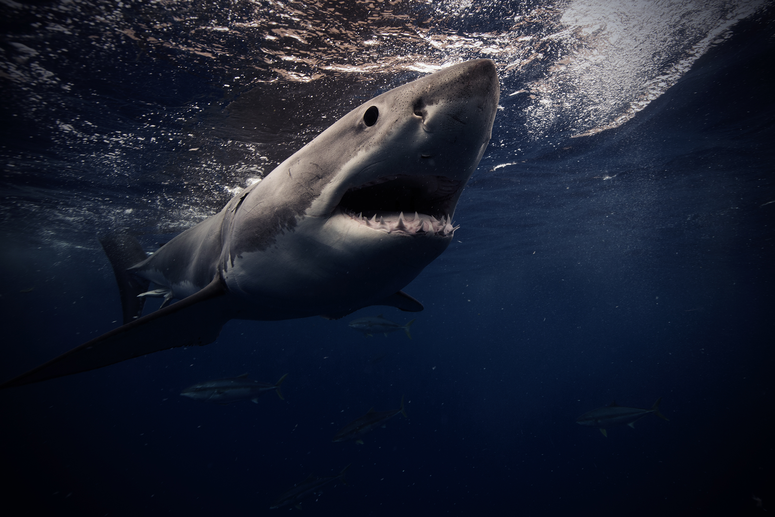 Great White