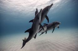 Spotted & Bottlenose Dolphin