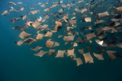 Golden Cownose Rays
