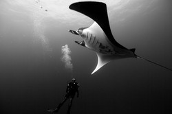 Pacific Giant Manta