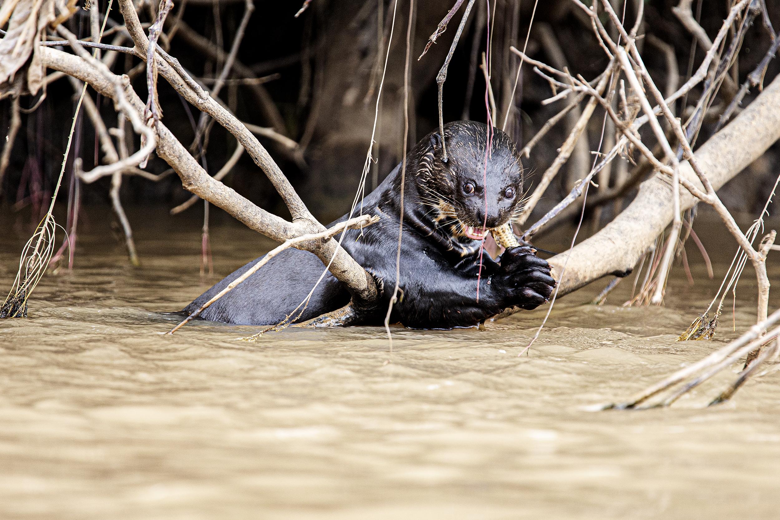 Amazon Otter