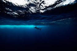 Steiped Marlin
