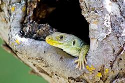 Lizardus