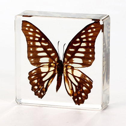 Butterfly - Graphium doson   Specimen in Acrylic Block