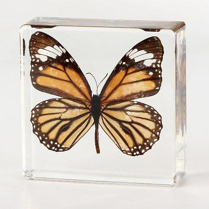 Butterfly - Danaus Genutia  Specimen in Acrylic Block