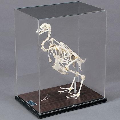 Chicken Skeleton, Articulated
