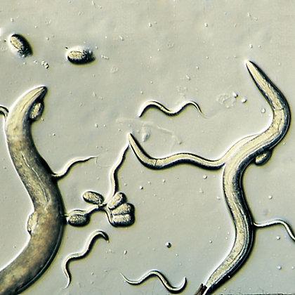 Caenorhabditis elegans N2, Living, Culture