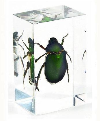 Chafer Beetle Specimen in Acrylic Block