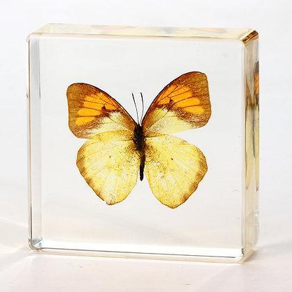 Butterfly - Ixias pyrene (Linnaeus)   Specimen in Acrylic Block