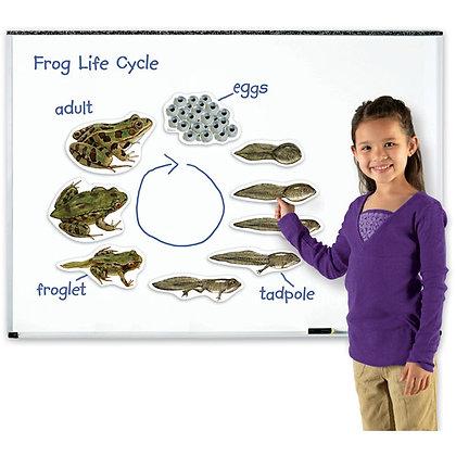 Giant Magnetic Frog Life Cycle Set