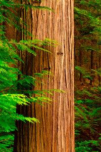 Avalanche Cedar