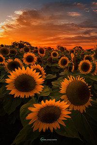 Sunflower Trifecta