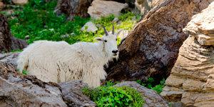 Goat In The Rocks