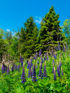Pines & Lupins