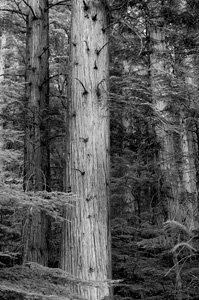 Grey Cedars