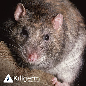 rat picture killgerm.jpg