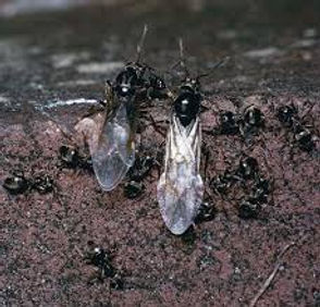 Black garden ant.jpg